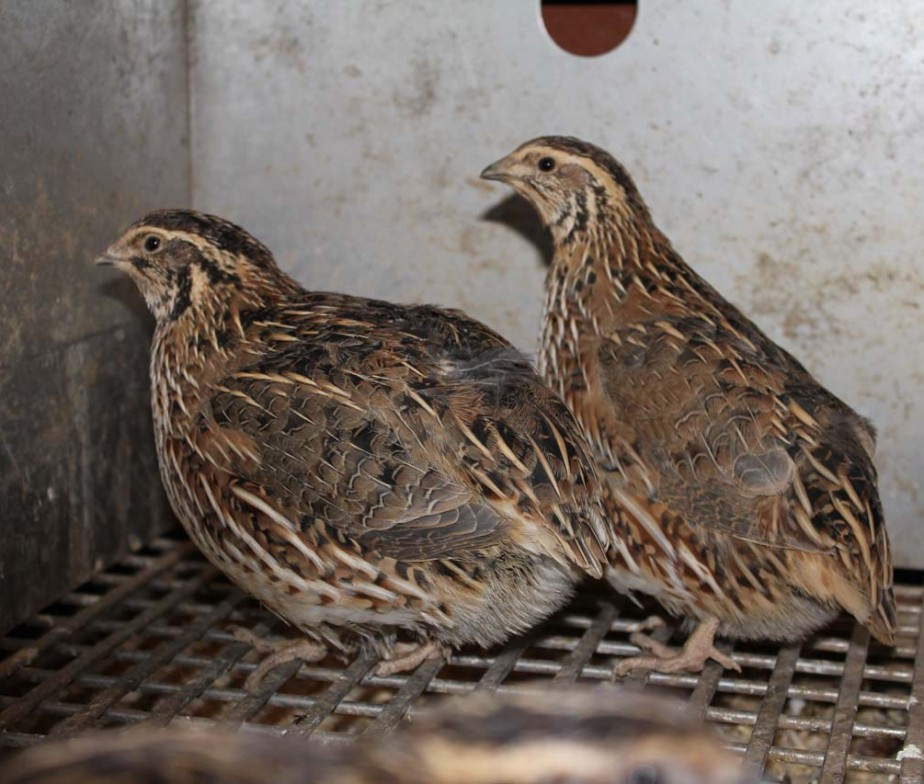 Jumbo coturnix quail - photo#16